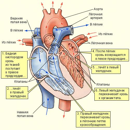 Сердце разделено на четыре