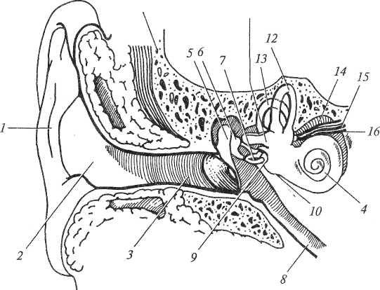 Поперечный разрез уха человека
