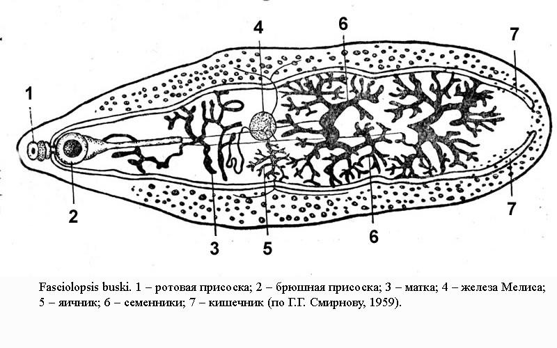 Трематода I
