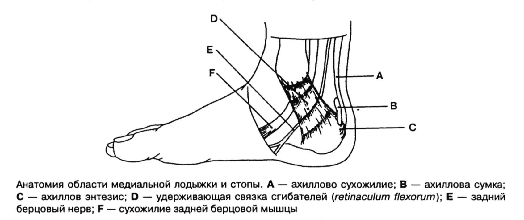 Сухожилие Ахиллово