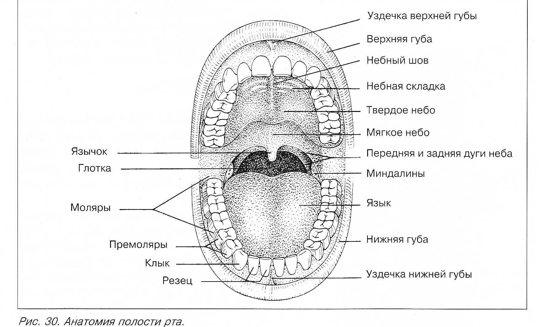 перепелов рот и зубы картинка названия яизиологии гарантируем, что