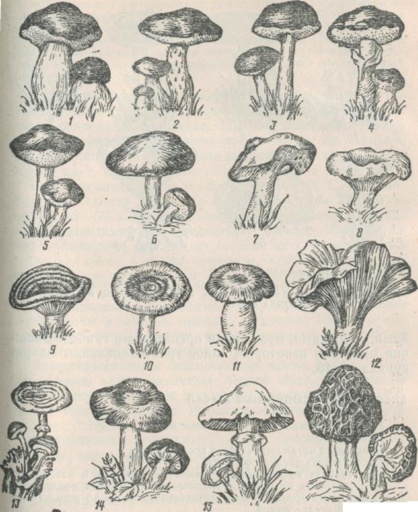 съедобные грибы рисунки иллюзия