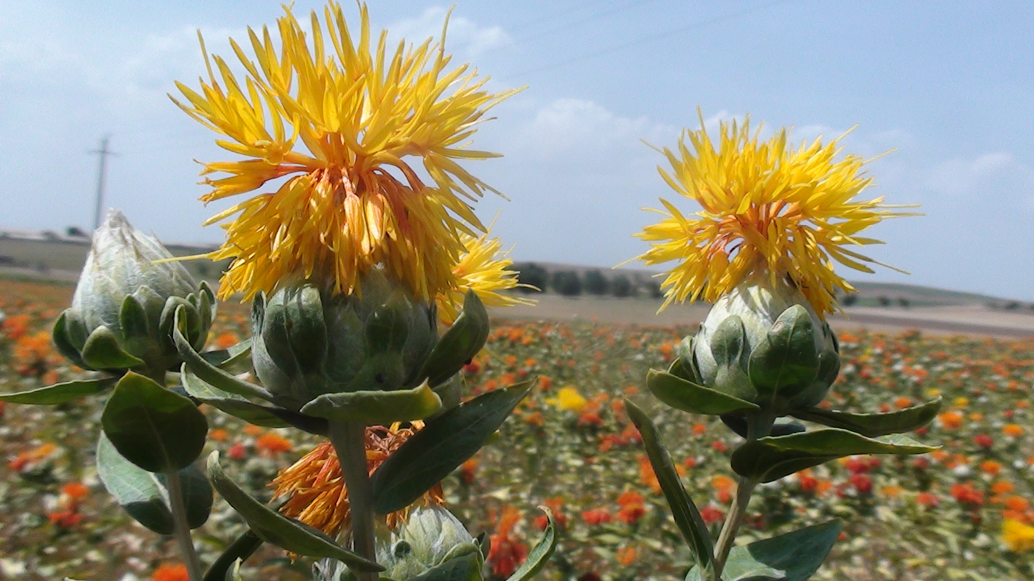 Агротехника выращивания сафлора 14