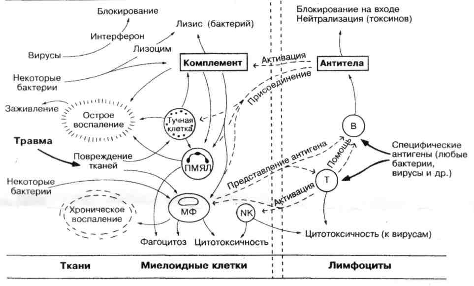 Тимоцит
